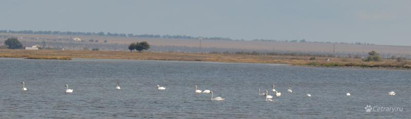 Белые лебеди зимуют в Крыму