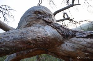 Сколькое видела эта огромная кряжистая сосна за последнюю тысячу лет?..